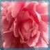 Blossom Roquen